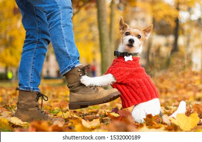 Funny dog Jack Russell Terrier sitting at the feet of a man in the park. Happy womens next to the owner's bootkomi on an autumn day. Pet wearing a sweater, outdoors or outside.