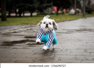 Funny Dog in a jumpsuit for a walk in the rain. Cute face