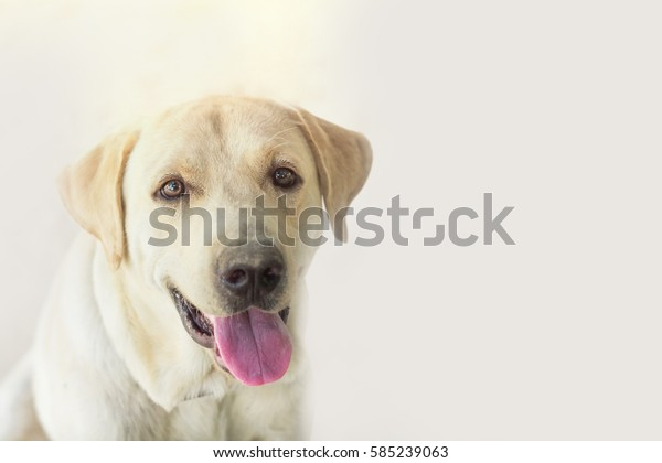 Funny dog Labrador with with open mouth and long tongue. Selective focus and copy space