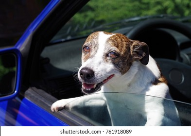 Funny dog looks out of a car window