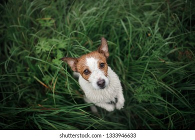 Funny dog looks out. Jack Russell Terrier in the wet grass, top. Happy Pet on nature for a walk