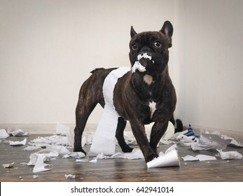 Funny dog made a mess in the room. Playful puppy French bulldog