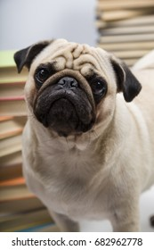 Funny dog on the background of books. Pug.