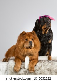 Funny dog picture. Chow Chow and rottweiler with costumes in a studio. Sunglasses and tie on a dog.