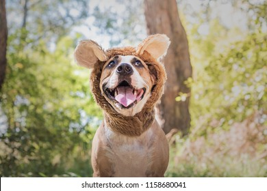 Funny dog portrait in bear hat photographed outdoors. Happy smiling staffordshire terrier sits in wild animal costume in sunny meadow