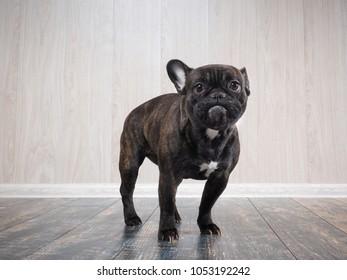 Funny dog. Portrait of a French bulldog