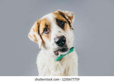 Funny dog posing in studio on a grey background