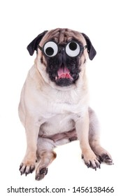 Funny dog pug with crazy silly glasses shows a pink tongue. Isolated