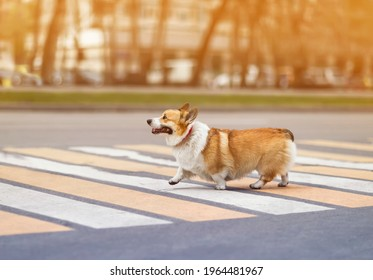funny dog puppy corgi safely crosses the road on a pedestrian crossing on a city street