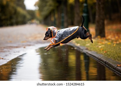 funny dog in a rain coat jumping over a puddle outdoors in autumn