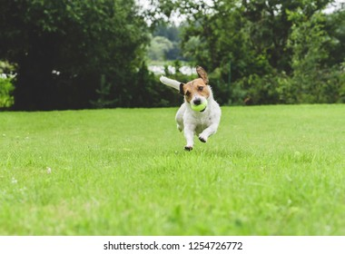 Funny dog running at green grass lawn holding tennis ball in mouth