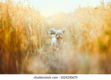Funny dog running through wheat field