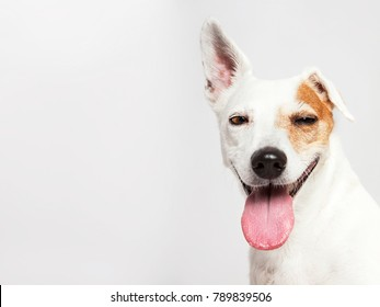The funny dog Russel Terrier smilling and looking isolated on the white background