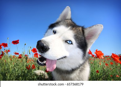 A funny dog. Siberian husky in a poppy field. Portrait of a blue-eyed dog.
