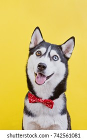funny dog ??breed Siberian husky red butterfly, concept dog fashion