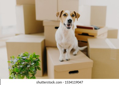 Funny dog sits on carton boxes, green indoor plant near, relocates in new modern apartment, has brown ears, white fur, happy to live in expensive house. Animals, moving day and housing concept