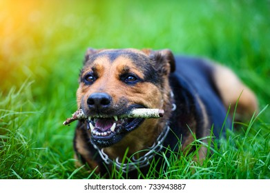 Funny dog with a stick in the teeth