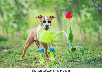 Funny dog with sunglasses and boots watering a flower from a watering can