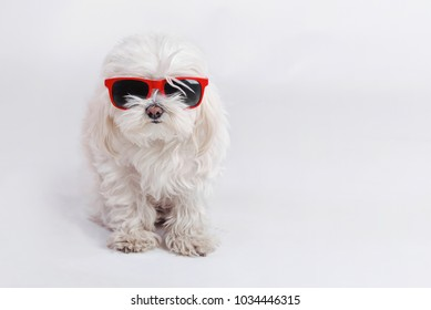 funny dog with sunglasses on white background