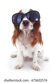 Funny dog with sunglasses. Summer edition. Cavalier king charles spaniel dog photo. Beautiful cute cavalier puppy dog on isolated white studio background. Trained pet photos for every concept.