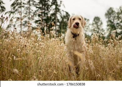 Funny dog with tongue out in field of long grass