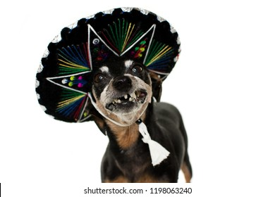 FUNNY DOG WEARING A MEXICAN MARIACHI HAT FOR A CARNIVAL OR HALLOWEEN PARTY, TOOTHLESS OR GUMMY SMILE. ISOLATED AGAINT WHITE BACKGROUND.