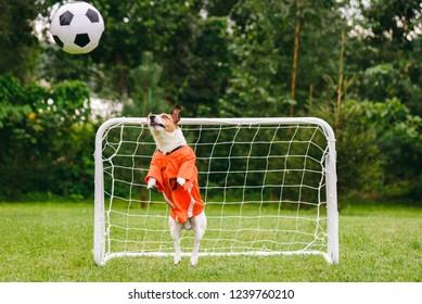 Funny dog wearing orange kit of Dutch national team catching football (soccer) ball
