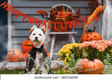 Funny dog west highland white terrier dressed in cloak and horns costume is sitting near decorated with pumpkins house. Preparation for celebration. Trick or treat. Happy halloween and autumn concept.