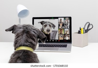 Funny dog working from home remotely while conducting a web video conference call with pet friends