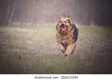 Funny doggy running in the field. Crossbred dog with brown and black fur, sharp teeth and funny facial expression. Selective focus on the snout of the animal, blurred background.