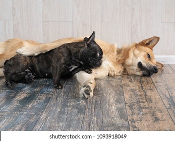 Funny dogs in the room. French bulldog and a mixed breed Akito-inu
