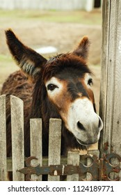 Funny donkey looks through the gate on the farm