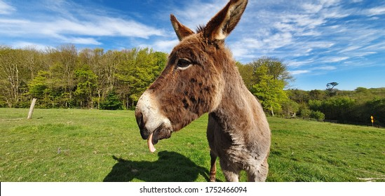 Funny donkey stick tongue out on a green meadow with blue sky.