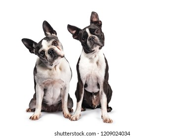 Funny duo of two black and white Boston Terriers / terriërs sitting beside eachother, looking to camera with tilted heads, isolated on white background