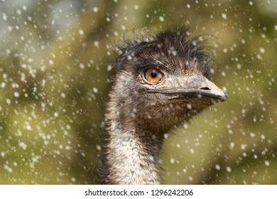 Funny emu head and upper neck in snowy weather with blurred background.