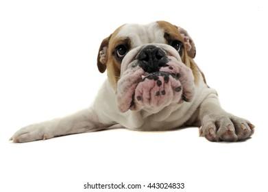 Funny English Bulldog enjoy the photo studio