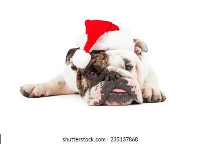 A funny English Bulldog laying down while wearing a Christmas Santa hat