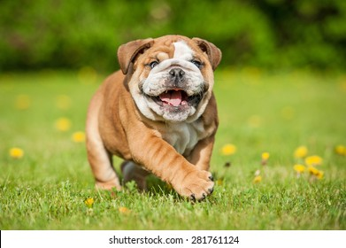 Funny english bulldog puppy playing in the park