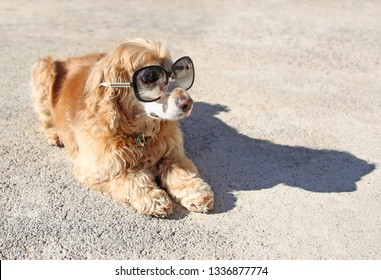 funny english Cocker spaniel dog with sunglasses sitting on the pavement