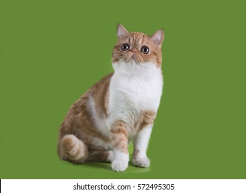 Funny Exotic cat in studio isolated