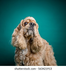 A funny face of an American cocker spaniel with a big eye