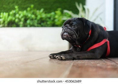 (Funny face of black pug dog.)Black puppy pug dog waiting to eat dog snack on wooden floor.