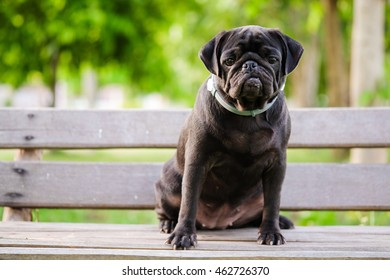 Funny face of black pug dog.(Black pug dog sitting on wooden chair with blurry background.)