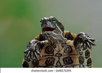 Funny face brazilian turtle, cute little brazilian turtle, closeup face brazilian turtle