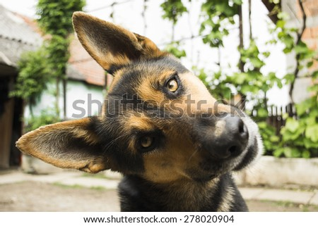 Funny Face Dog Looking Camera Curious Stock Photo Edit Now