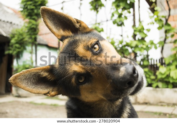 Funny face dog looking at the camera curious German Shepherd dog