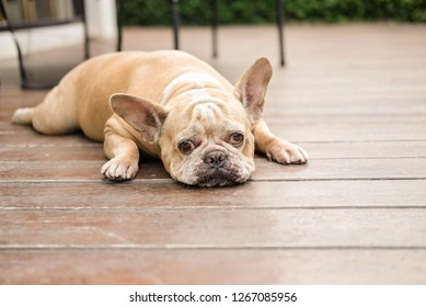 Funny face of french bulldog waiting to eat dog snack.
