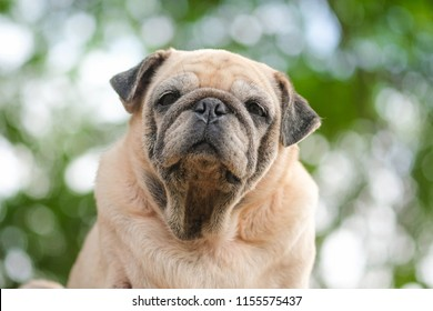 Funny face of pug dog with blurry back ground.