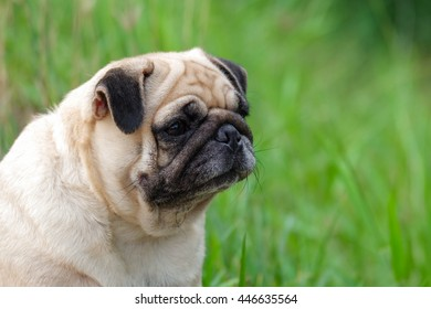 Funny face of pug dog with blurry background.