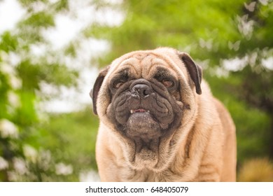 Funny face of pug dog with Butterfly blurry background.
